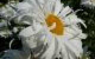 Хризантемы как ромашки