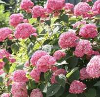 Гортензия анабель розовая