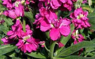 Метиола цветы когда сажать