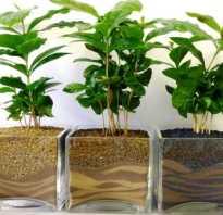 Пересадка кофейного дерева в домашних условиях