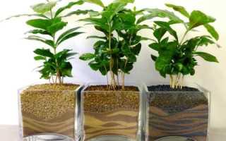 Комнатное растение кофейное дерево