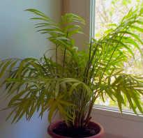 Хамедорея элеганс уход в домашних условиях