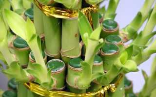 Как обрезать бамбук в домашних условиях
