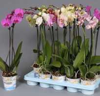Черенкование орхидеи
