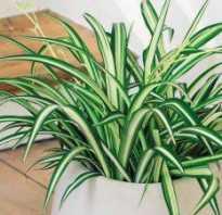 Хлорофитум сохнут кончики листьев