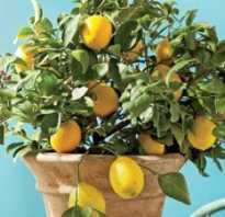 Как посадить семена лимона
