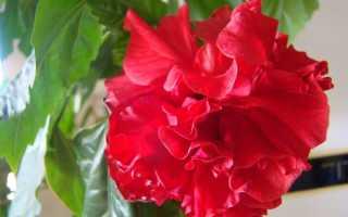 Красный цветок в горшке