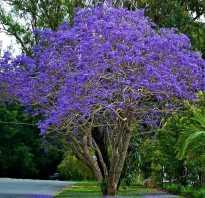Фиалковое дерево в домашних условиях