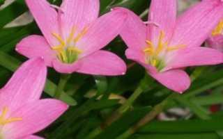 Цветок выскочка уход