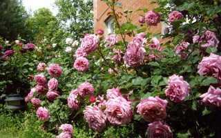 Роза шарп