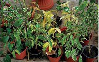 Фикус с мелкими листьями название