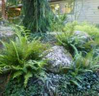 Пересадка папоротника в саду