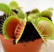 Мухоловка растение как вырастить из семян