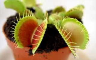 Как выглядят семена мухоловки