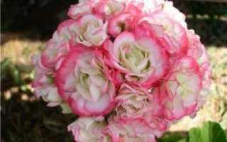 Пеларгония аплеблоссом розебуд