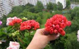 Ред пандора пеларгония