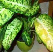Диффенбахия желтеют листья что делать
