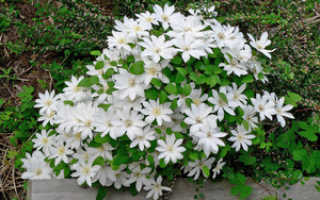 Белые садовые цветы