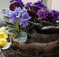 Комнатные цветы фиалки как влияют на здоровья