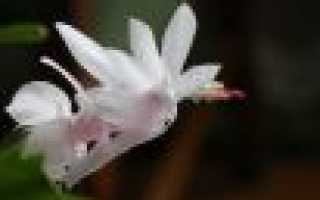 Белый декабрист цветок