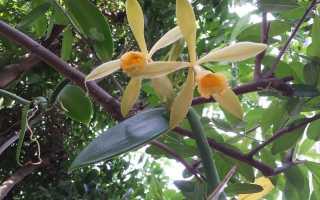 Ваниль цветок