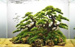Японский кедр бонсай