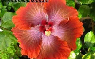 Цвет мальвы