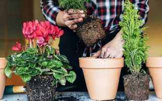 Когда можно пересаживать домашние цветы