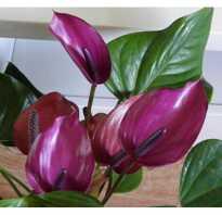 Антуриум фиолетовый