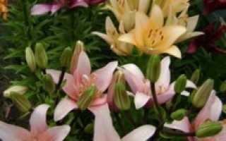 Какие лилии самые зимостойкие