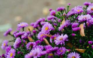 Сентябринки цветы размножение посадка и уход
