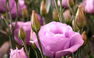Выращивание эустомы в теплице на срезку