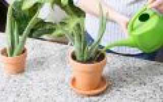 Как поливать алоэ в домашних условиях