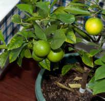 Чем удобрять лимон в домашних условиях