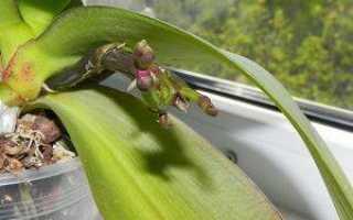 Почему у орхидеи короткий цветонос