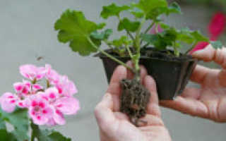 Герань размножение листом