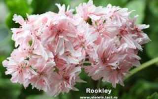 Rookley пеларгония