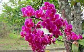 Орхидея в природе на деревьях
