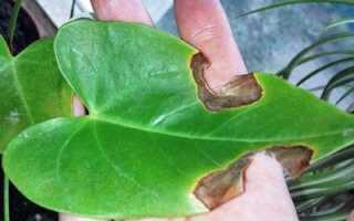 Почему у антуриума трескаются листья