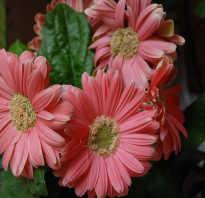 Берберы цветы
