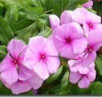 Катарантус розовый лечебные свойства