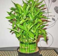 Бамбук как пересадить
